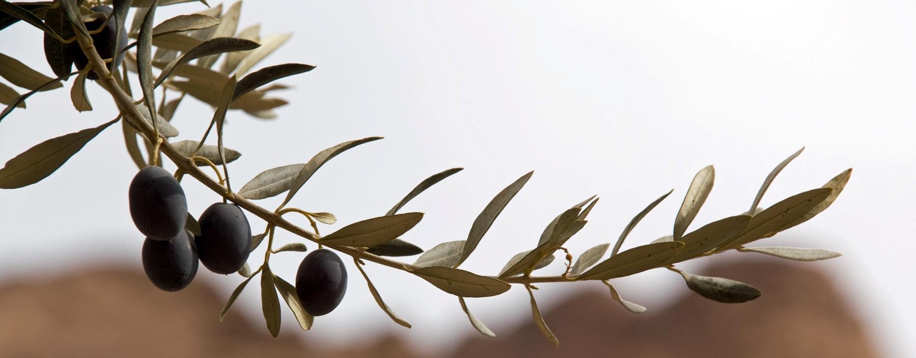 Olive Oil branch